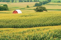 corn farm - Google Search