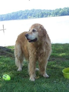 Senior dog adoption fee 150 dollars  water toys 17 dollars  Seeing a Golden Retriever learn to swim at age 11...priceless