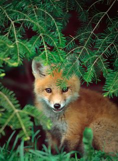 Shy Red Fox by Dave Kynor