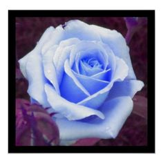 Baby Blue Rose Poster from Zazzle.com