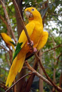 ARARAJUBA (GUAROUBA GUAROUBA) Adornada com penas verdes e amarelas, a ararajuba é uma ave encontrada somente na Amazônia Brasileira. Infelizmente, sua beleza atraiu traficantes que as retiravam da natureza para vender como animais de estimação.(estão em extinção)