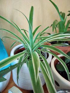 Pasteles Puerto Rico Recipe, Plants, Indoor House Plants, Nursing Care, Plant, Planets