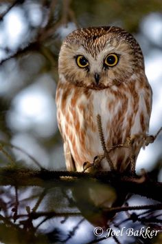Owl Photos, Owl Pictures, Owl Bird, Pet Birds, Saw Whet Owl, Owl Mug, Wise Owl, Farm Yard, Birds Of Prey