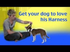 How to train your dog to love his harness- dog training clicker training