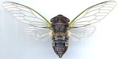 Cicada with wings spread