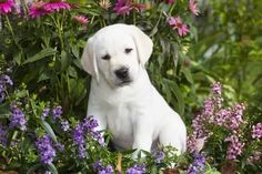 Mind Blowing Facts About Labrador Retrievers And Ideas. Amazing Facts About Labrador Retrievers And Ideas. Chocolate Labrador Retriever, Labrador Retriever Dog, Labrador Puppies, Beagle, Charcoal Lab Puppies, White Lab Puppies, Labrador Puppy Training, Training Dogs, Most Beautiful Dog Breeds