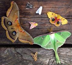 Beautiful NA moths from left to right: Polyphemus, (pink/yellow)Rosy Maple, (small white)Tiger Moth, (green)Luna, and the yellow is a male Io moth. The other 2 not sure...by David Spahr