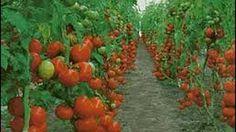 Cómo se lleva el manejo Fitosanitario en un Cultivo de Tomate - TvAgro por Juan Gonzalo Angel - YouTube