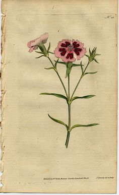 c25_indian_pink - William Curtis (1746-1799)