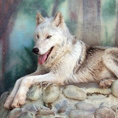 The eastern wolf, also known as Eastern Canadian wolf or Eastern Canadian red wolf, may be a subspecies of gray wolf, a distinct species of canid or a hybrid species native to the eastern part of North America since the Pleistocene era.