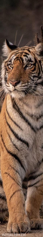 Tigers Source:unsplash.com Animals Of The World, Animal Kingdom, Pet Birds, Animals Beautiful, Habitats, Safari Fashion, Wildlife, Bokeh, Tigers