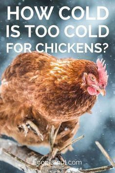 Are you trying to raise a few chickens in your backyard?If yes, then you may be wondering, how cold is too cold for chickens?Depending on where you live, the winters can be pretty brutal and you may be concerned that your beloved chickens are freezing the Chicken Garden, Backyard Chicken Coops, Chicken Coop Plans, Building A Chicken Coop, Diy Chicken Coop, Chicken Coop Winter, Farm Chicken, Chicken Run Ideas Diy, Small Chicken Coops