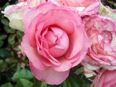 Kletterrose Mini Eden Rose