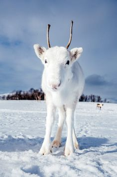 💙🤍💙🤍 White Reindeer, Rare Animals, Zoo Animals, Baby Deer, Albino, Cool Landscapes, Bored Panda, Funny Art, Mythical Creatures