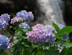 a hydrangea at waterfall