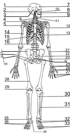 human skeleton diagram science printables pinterest human skeleton skeletons and human. Black Bedroom Furniture Sets. Home Design Ideas