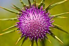 Milk thistle, an effective herbal psoriasis remedy -