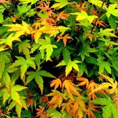Acer palmatum ' Fjellhiem ' A dwarf variety of 'Sango Kaku' Japanese Maple. Plant grows almaost 1/5 of the orginal 'Sango Kaku. Bark turns fire red in winter. Leaves are small green with yellow fall c