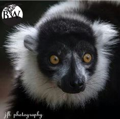 """⭕️VOLUNTEER OF THE DAY⭕️ Julie Barrington    @j4julesb The black and white ruffed lemur that looks like a panda has large and luminous eyes. It is native to the eastern rain forests of Madagascar. There were 40 different species of lemurs thriving in Madagascar, sadly today there are only 23 and they are endangered. The black and white ruffed lemur is """"critically endangered."""" Hunting and  deforestation have compromised their habitats."""