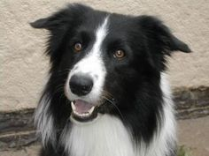 Dog Border Collie pet canine attention perception stare age development