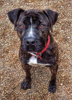 """Meet 14-35 """"Johnny"""", a Petfinder adoptable Pit Bull Terrier Dog 
