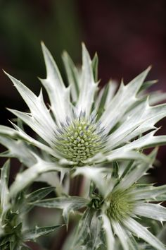 Another shot of our favourite Eryngium, Picos Amethyst...