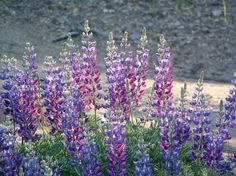 Silver Bush Lupine, Lupinus albifrons (3-5 ft tall, fragrant flowers, gorgeous evergreen foliage, attracts butterflies)