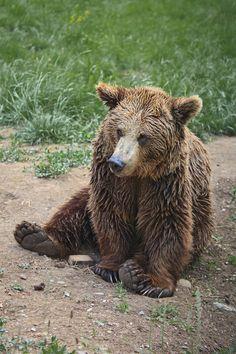 A bear called Paca. Senda del Oso [Bear´s path] Asturias. Tomas Fano