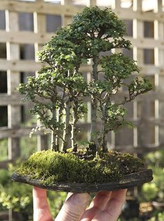Bonsai elm forest!!! I SO WANT A CHINESE ELM FOREST!!  FROM HAPPY VALLEY