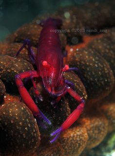 Purple Emperor Shrimp