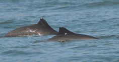 To study harbor porpoises in San Francisco Bay, researchers use scars and other unique markings to identify individual animals. They have assembled the largest photo collection of harbor porpoises in the world--and you can help by sharing your photos! Read more about our work and how you can become a citizen scientist at http://www.nwf.org/news-and-magazines/national-wildlife/animals/archives/2014/harbor-porpoises.aspx #wildlifeweek