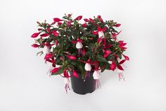 Fuchsia Bella Evita in pots, these plants are in recyclable pots and can be recycled where facilities exist. This listing is for 3 plants and are British grown. Outdoor Plants, Potted Plants, Bhut Jolokia, Chinese Money Plant, Buy Plants Online, Plants Delivered, Bottle Garden, Office Plants, Order Flowers