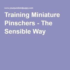 Training Miniature Pinschers - The Sensible Way