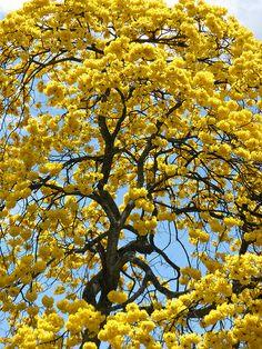 Guayacán amarillo / Tabebuia chrysantha / Handroanthus chrysanthus (Tabebuia chrysantha) - Golden Trumpet Tree, Golden Goddess Tree