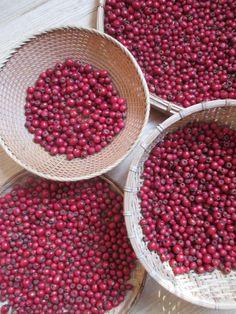 hawthorn berry (info, tea, tincture, cordial recipes)