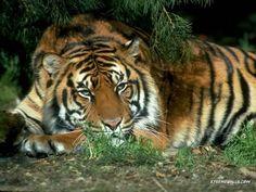 wild cats | South China Tiger