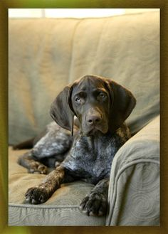 """German Shorthaired Pointer Puppy Boy ~ """"Vegas"""" ~ Photo by Russ Powell"""
