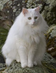 The Turkish Angora is just one of the earliest longhaired feline type in the world, as well as they certainly have the softest layers! Several popular modern-day longhaired cat types are thought to have actually originated from crossbreeding with Turkish Angora felines. They are lengthy legged, classy and graceful. The Turkish Angora comes in different colour variants, however one of the most common as well as prominent colour is pure white. Turkish Van, Herding Cats, Cute Cats Photos, Cat Breeds, White Cats, Turkish Angora Cat, Angora Cats, Ankara, Pretty Cats