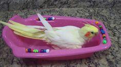 calopsita tomando banho - .