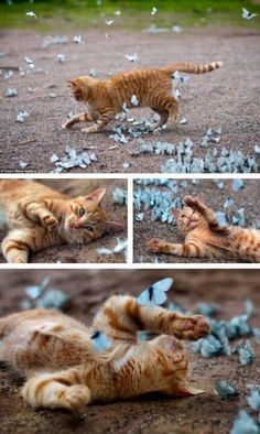 Cat playing with swarm of butterflies. #PANDORAloves