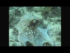 When marine biologist Roger Hanlon captured the first scene in this video he started screaming. (If you need to see it again, here's the raw footage.) Hanlon, senior scientist at the Marine Biological Laboratory in Woods Hole, studies camouflage in cephalopods--squid, cuttlefish and octopus. They are masters of optical illusion. These are some of Hanlon's top video picks of sea creatures going in and out of hiding.