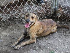 Animal ID	29223158  Greyhound/Mix  	1 year 28 days  	Male  	Medium  Brindle  Neutered	  Site	Newington Branch - CT Humane Society  Location	Main Kennel 	 ~ I can live in any size home, including apartments. ~ I would love to live with kids of any age. ~ I have not had much experience with cats or dogs but am willing to consider sharing my home with a furry friend. ~ I am calm but have my moments of energy and need to get some exercise every day. ~ I am a great dog for the first time dog
