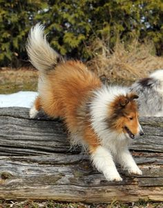 Laureate Shelties I want one of these!!!!!