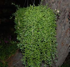 My new plant!! Senecio Radicans gracua aka String of Bananas. I can't wait for mine to get this long!