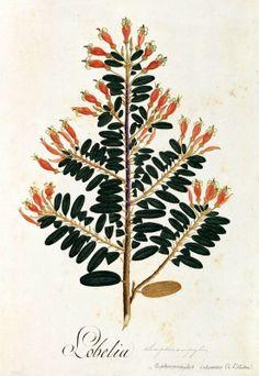 Lobelia. Proyecto de digitalización de los dibujos de la Real Expedición Botánica del Nuevo Reino de Granada (1783-1816), dirigida por José Celestino Mutis: www.rjb.csic.es/icones/mutis. Real Jardín Botánico-CSIC.