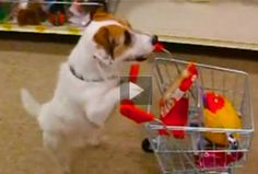 "| Jesse the little terrier performs a big bunch of ""useful dog tricks"""