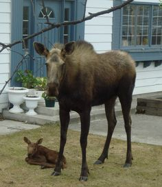 Alaska moose | Alaskan Moose