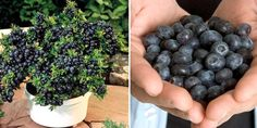 Learn How To Grow Unlimited Amounts Of Blueberries In Your Backyard