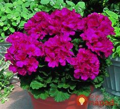 Garden plants for a colorful spring - Decoration Design Pink Geranium, Geranium Flower, Geranium Plant, Container Plants, Container Gardening, Flower Seeds, Flower Pots, Love Flowers, Beautiful Flowers