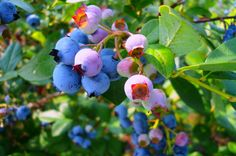 Blueberry Season in Apple Hill has Finally Arrived! Enjoy Delicious Freshly Picked Blueberries Daily at the Boa Vista Orchards Farm Market!